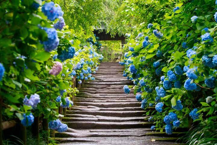 紫陽花 の 名所